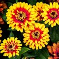 Nasiona cynii