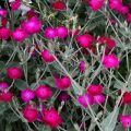 Nasiona firletki