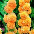Nasiona malwy