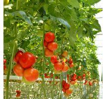 Pomidor szklarniowy Tukan nasiona