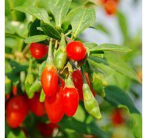 Jagody goji - Kolcowój New Big - duże owoce - sadzonka