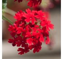 Werbena Zwisająca I Rabatowa łatwy W Uprawie Kwiat Na