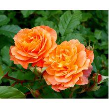 Róża wielkokwiatowa pomarańczowa - sadzonka