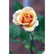 Róża wielkokwiatowa ciemna ecru - sadzonka