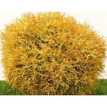 Żywotnik Golden Tuffet sadzonki