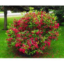 Krzewuszka Red Prince sadzonki