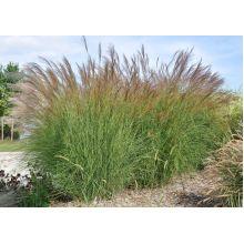 Miskant chiński Yaku Jima - Miscanthus sinensis - trawy ozdobne - sadzonka