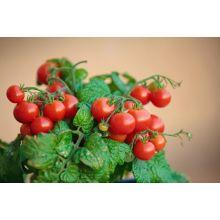 Pomidor balkonowy nasiona