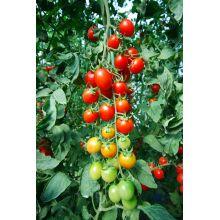 Pomidor doniczkowy zwisający czerwony nasiona
