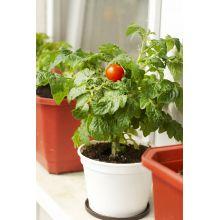 Pomidor balkonowy czerwony nasiona