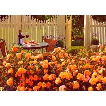 Róża okrywowa pomarańczowa sadzonki