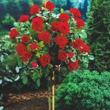 Róża pienna czerwona sadzonka