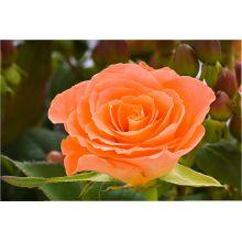 Róża łososiowa sadzonki