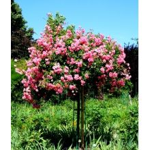 Róża pienna różowa sadzonka