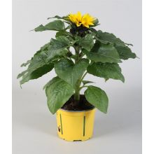 Słonecznik doniczkowy sadzonka