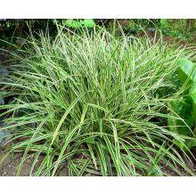 Turzyca japońska Ice Dance - Carex morrowi - trawy ozdobne - sadzonka