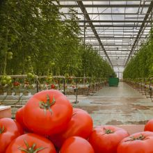 Pomidor szklarniowy Bekas nasiona