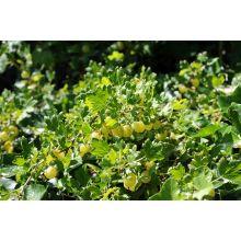 Agrest zielonożółty - Invicta - sadzonka