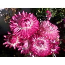 Kocanka ogrodowa - różowa