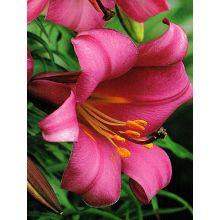 Lilia trąbkowa - Pink Perfection - 1 szt.