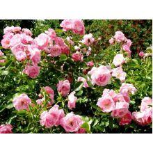 Róża okrywowa różowa - sadzonka