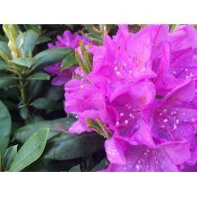 Rododendron sadzonka cena