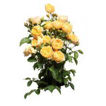 Róża parkowa żółta - sadzonka