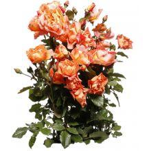 Róża parkowa pomarańczowa - sadzonka