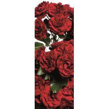 ae31e60287c384 Róże rabatowe - Sklep Świat Kwiatów | Dostawa gratis!