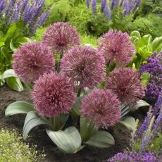 Czosnek Nevskianum - Allium nevskianum