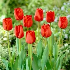 Tulipan Apeldorn - 5 szt.
