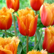 Tulipan Lambada - opak. 5 szt.