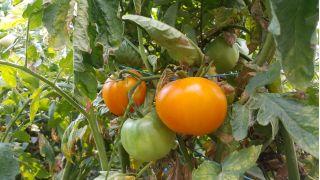 Pomidor Jantar - gruntowy