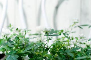 Róża miniaturka biała