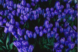 Tulipan niebieski - Blue - 5 szt.
