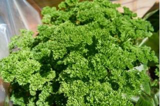 Pietruszka naciowa Mooskrause 2 - kędzierzawa, intensywnie zielona
