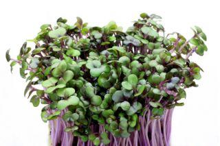 Nasiona na kiełki - Kapusta głowiasta czerwona