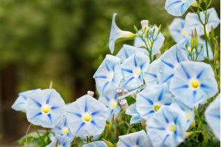 Wilec trójbarwny - Blue Star - duże kwiaty!