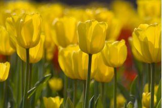 Tulipan żółty - Yellow - 5 szt.