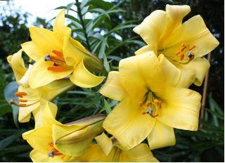 Lilia trąbkowa - Golden Splendour