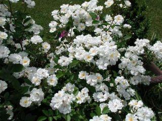 Róża miniaturowa biała sadzonki