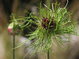 Czosnek hair - włochaty kwiat - 5 szt.