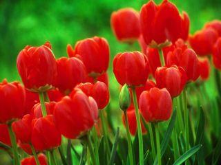 Tulipan czerwony - Red - 5 szt.