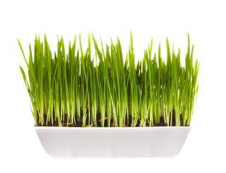 młody zielony jęczmień z chin