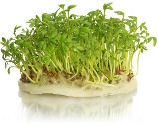Nasiona na kiełki - Rzeżucha