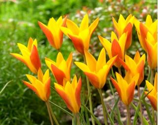 Tulipan Chrysantha Tubergen's Gem - 5 szt.