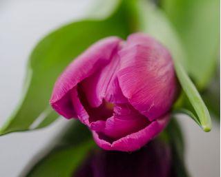 Tulipan różowy - Rose - 5 szt.