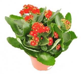 Kwiaty Doniczkowe Sklep Swiat Kwiatow Dostawa Gratis