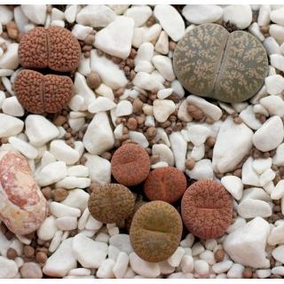 Żywe kamienie