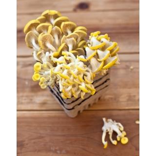 Boczniak cytrynowy do uprawy w domu i ogrodzie - 3 kg